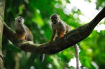 Squirrel monkeys playing in the trees