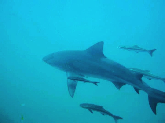 photo of bull shark
