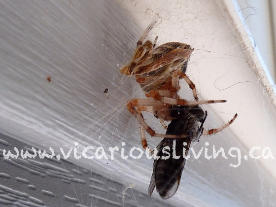 spider eating fly photo