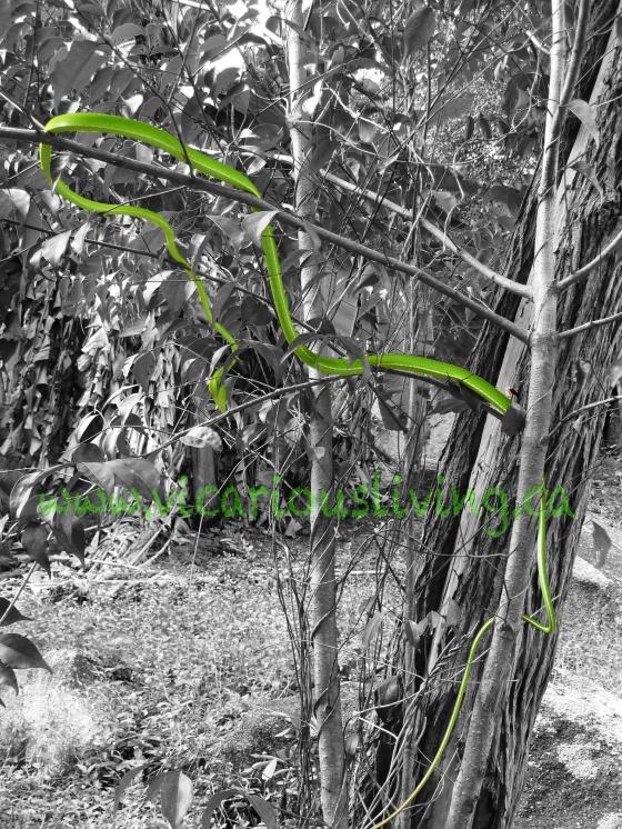 White eyed viper thailand, green tree snake thailand