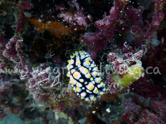 wart slug, nudibranch photo thailand